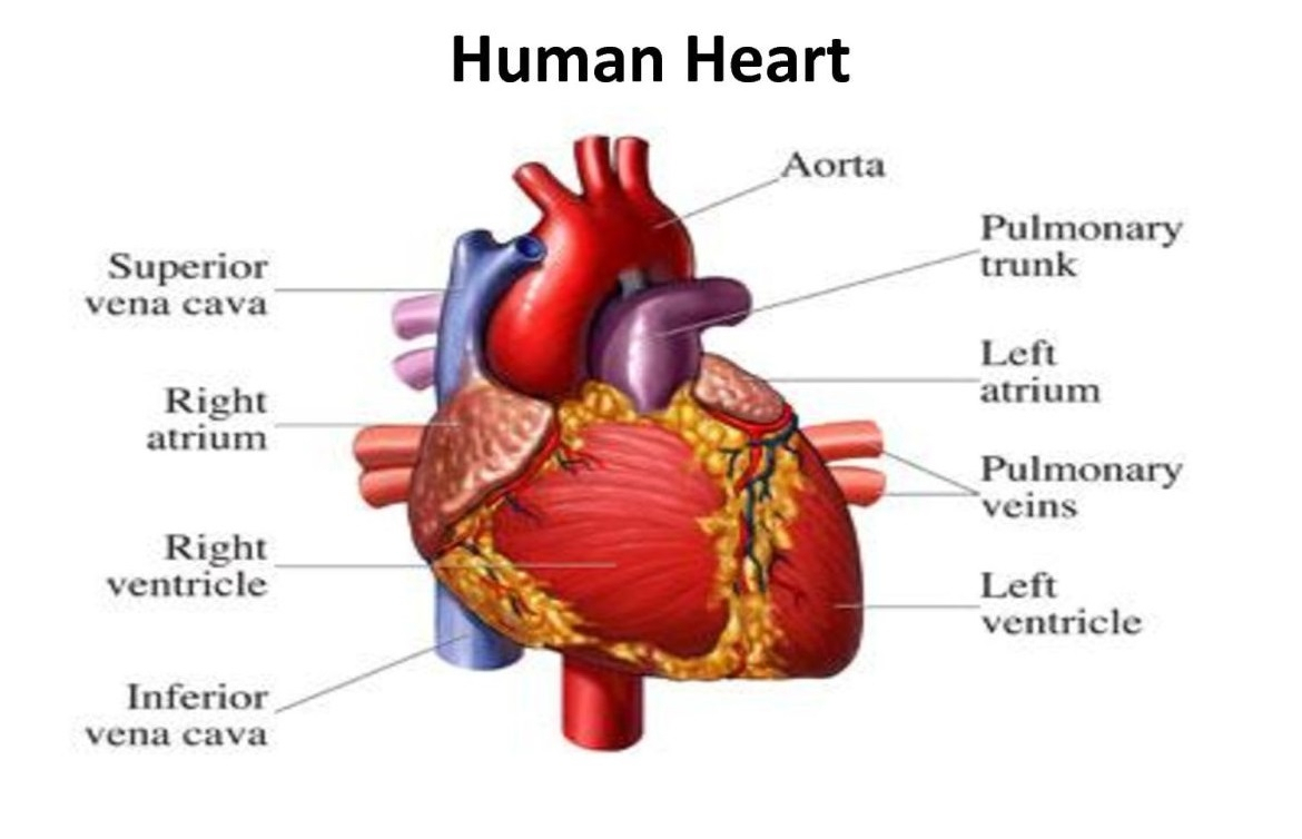 Main Functions of the Heart