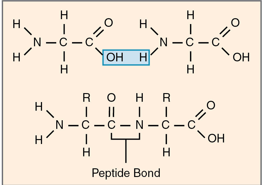 All about peptide bond